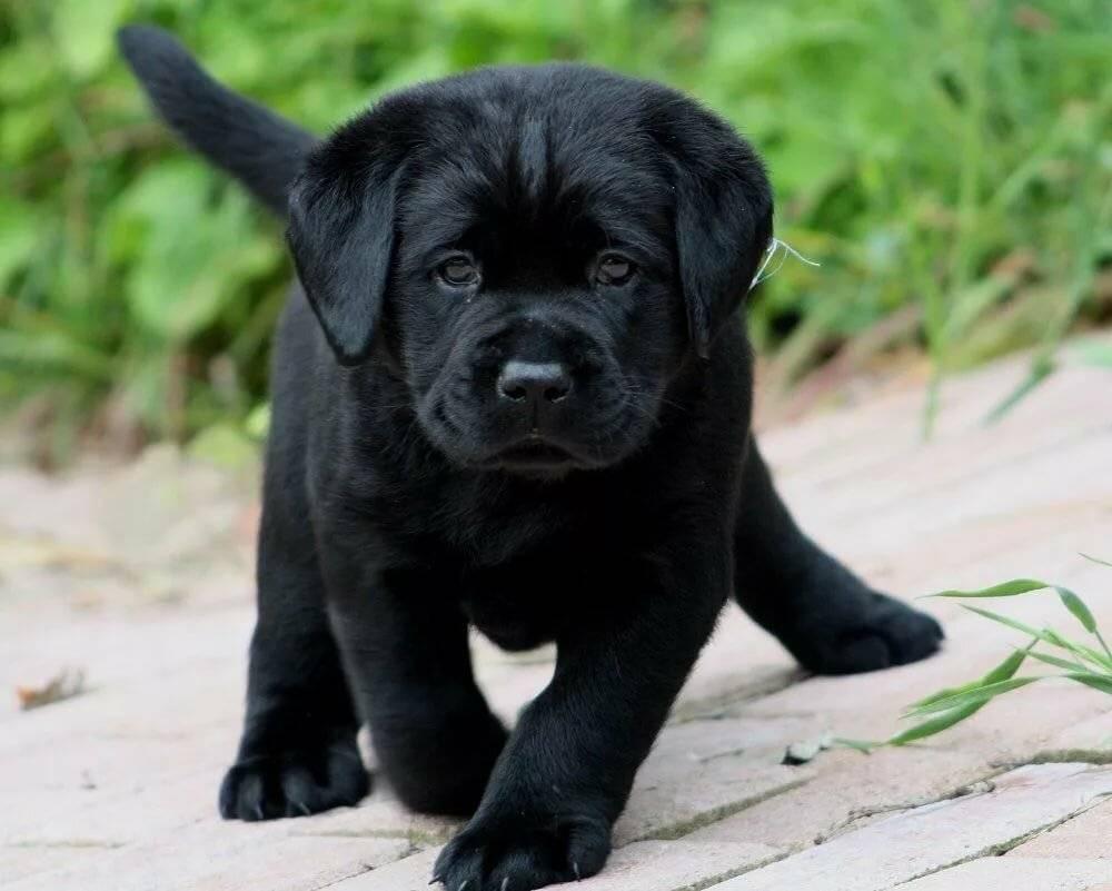 Как назвать собаку породы лабрадор