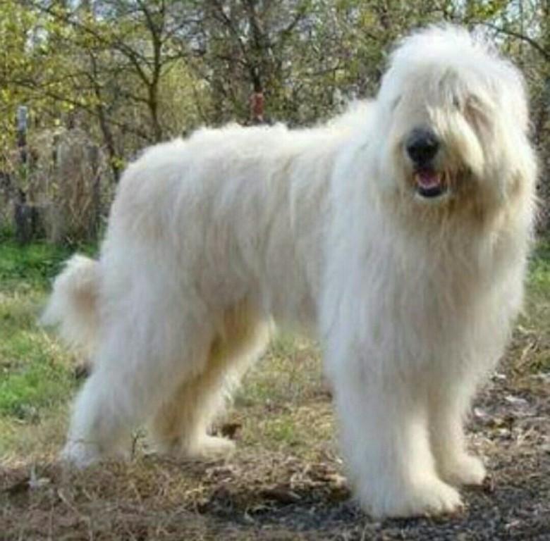 Южнорусская овчарка: описание породы собак