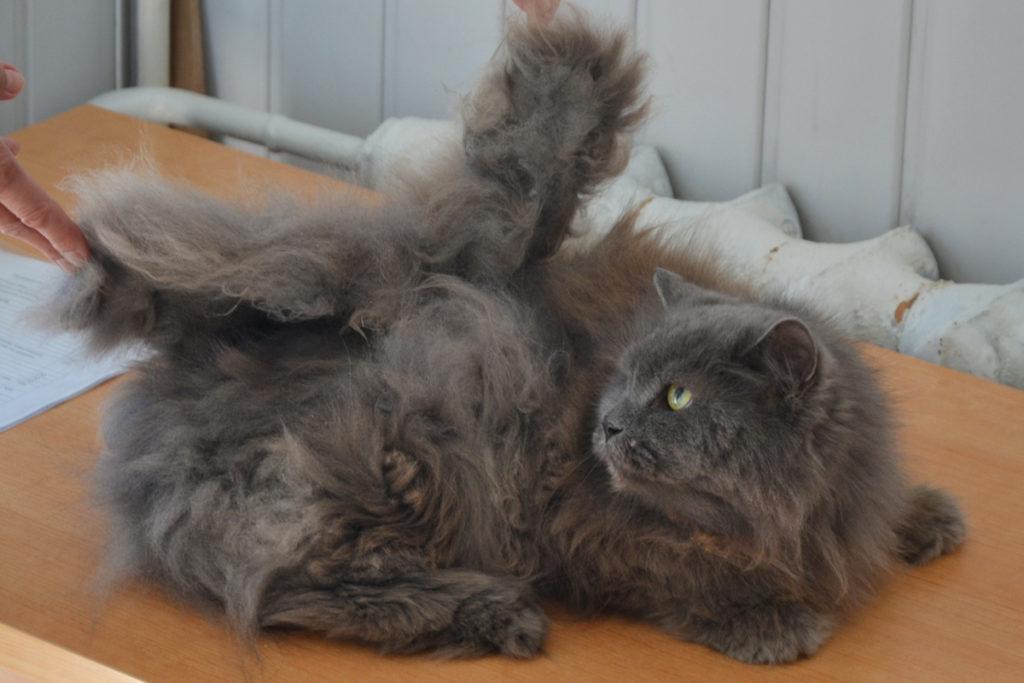Колтуны у котов и кошек