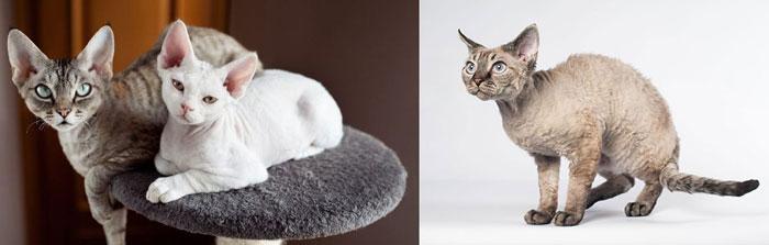 Кошка девон-рекс — сказочный эльф в вашем доме