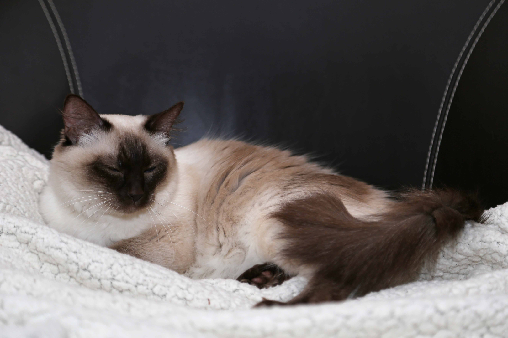 Бирманская кошка — священная порода Бирмы