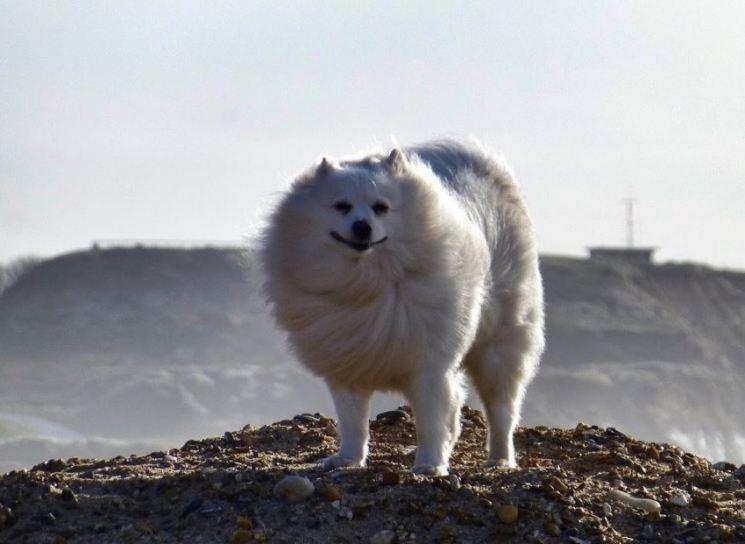 Американский эскимосский шпиц: особенности