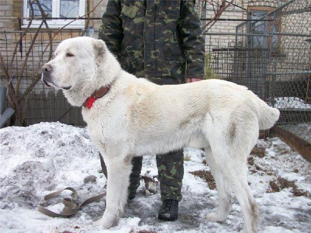 Алабай с ушами (некупированный): когда купируют уши и хвост щенкам