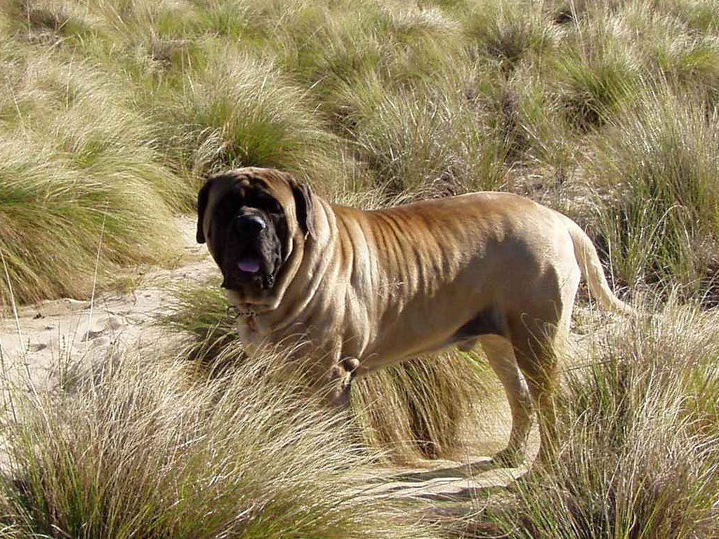 Мастиф (собака): какие бывают виды породы