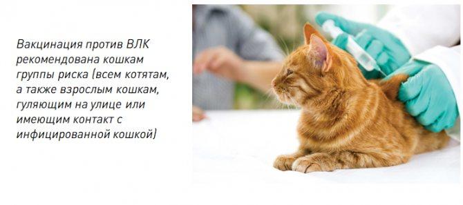 Лейкоз у кошек, вирусная лейкемия: симптомы и лечение