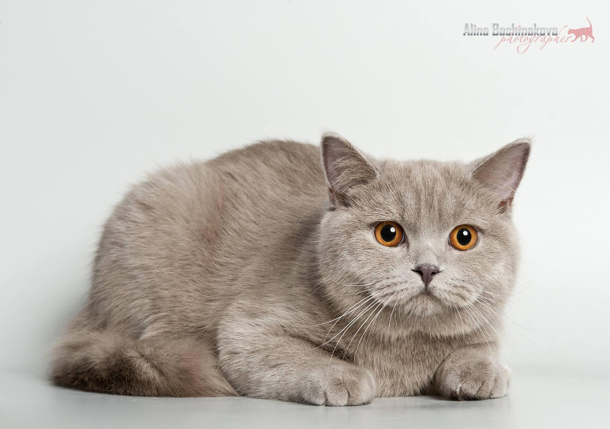 Скоттиш-страйт (шотландская прямоухая кошка)
