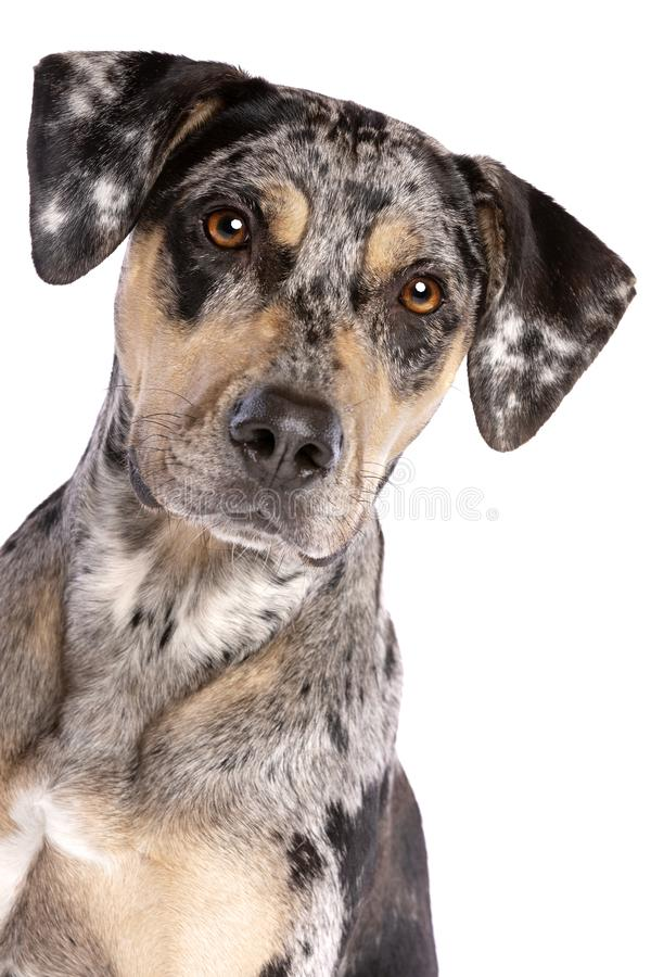 Леопардовая собака катахулы: описание породы