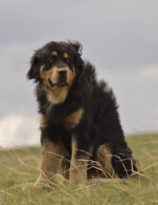 Бурят-монгольские волкодавы — огромные охранные собаки древнейшего происхождения