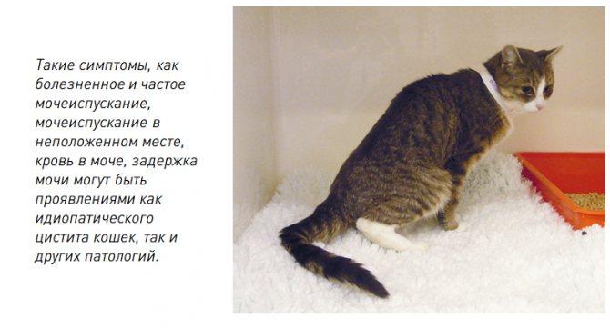 Недержание мочи у кота: что делать в домашних условиях