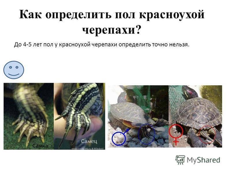 Как определить пол красноухой черепахи самостоятельно