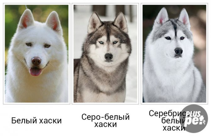 Лайка (собака): виды, как выглядит, описание породы