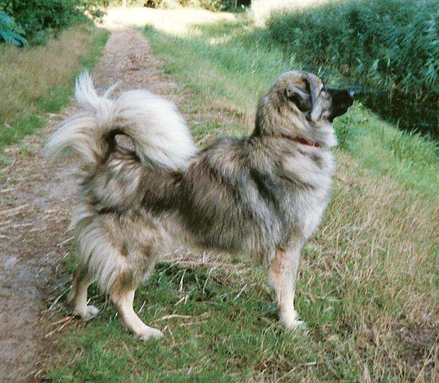Крашская овчарка