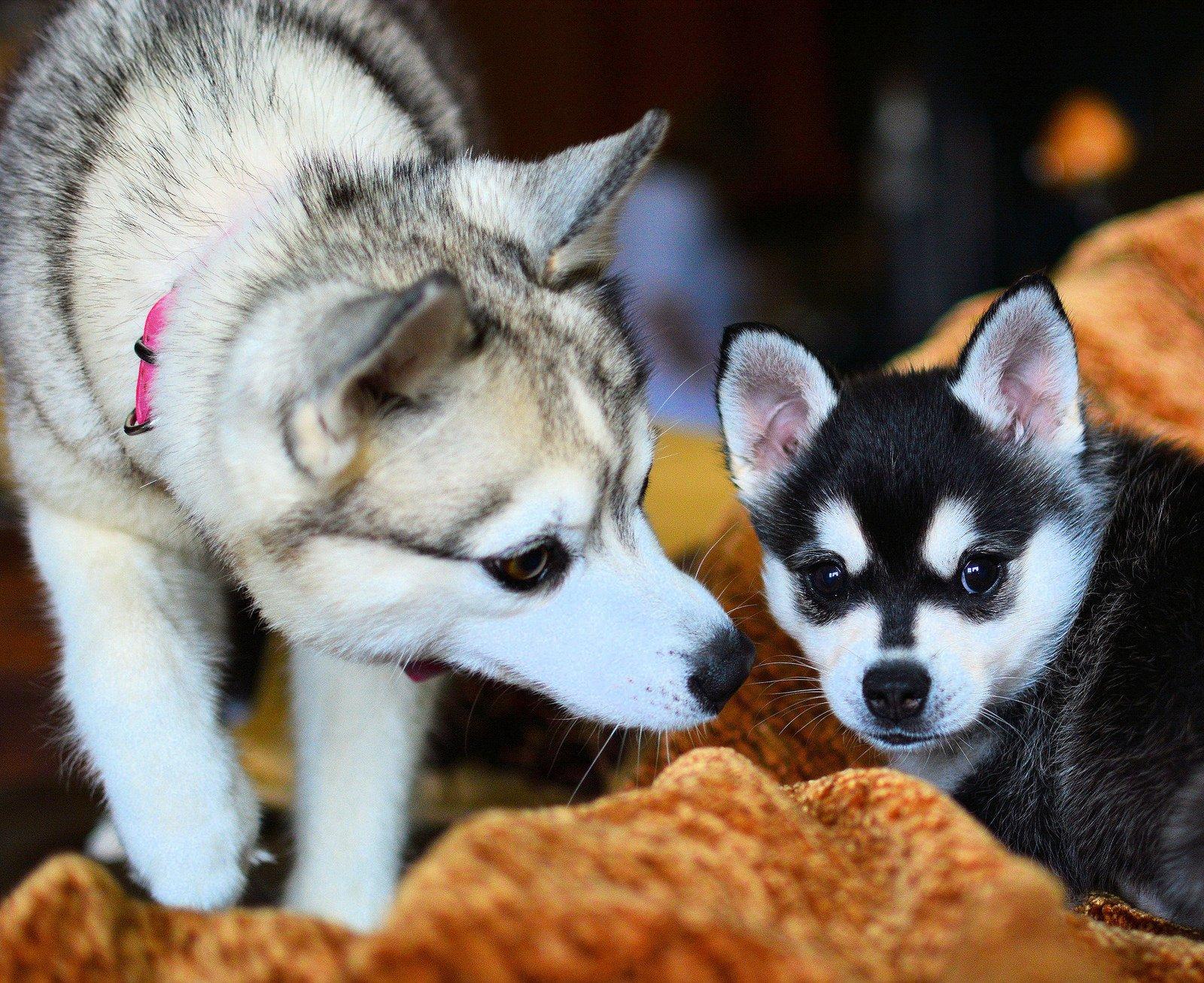 Аляскинский кли кай (мини хаски): описание породы собак