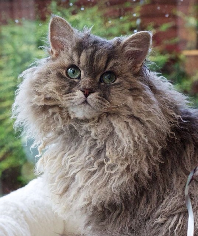 Кудрявые кошки — примеры названий популярных пород