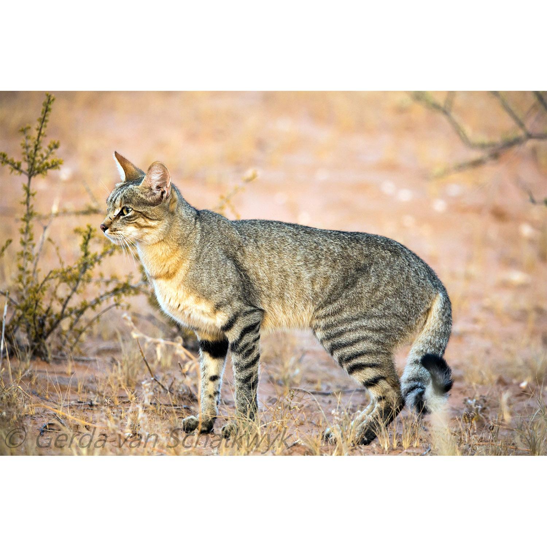 Степной кот: описание африканской дикой кошки