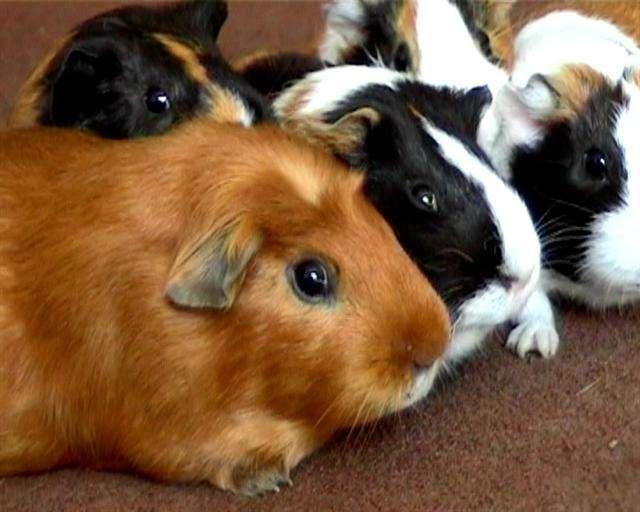 Морские свинки — уход и содержание в домашних условиях