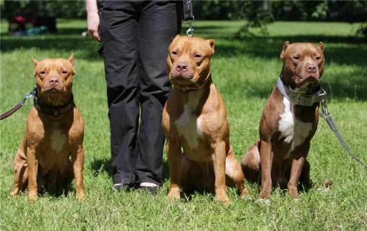 Запрещенные породы собак в России: список