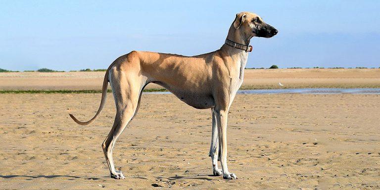 Слюги: арабские скакуны собачьего мира