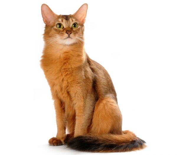 Немецкий рекс: кудрявый кот с безупречным характером