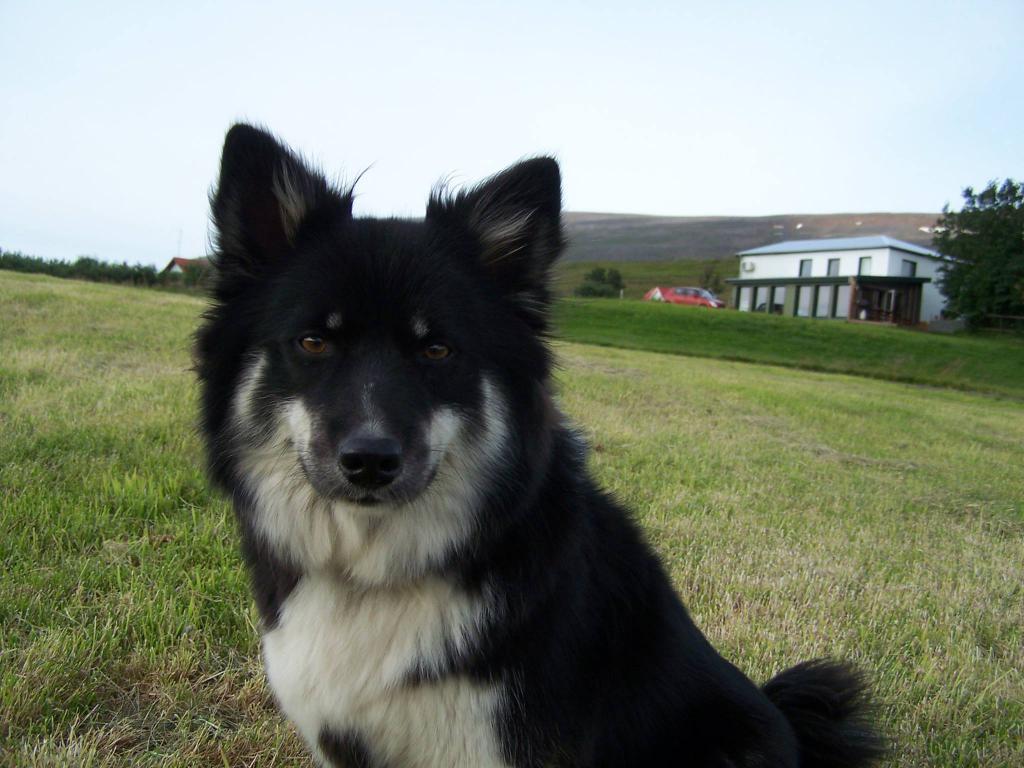 Исландская собака: описание породы овчарок