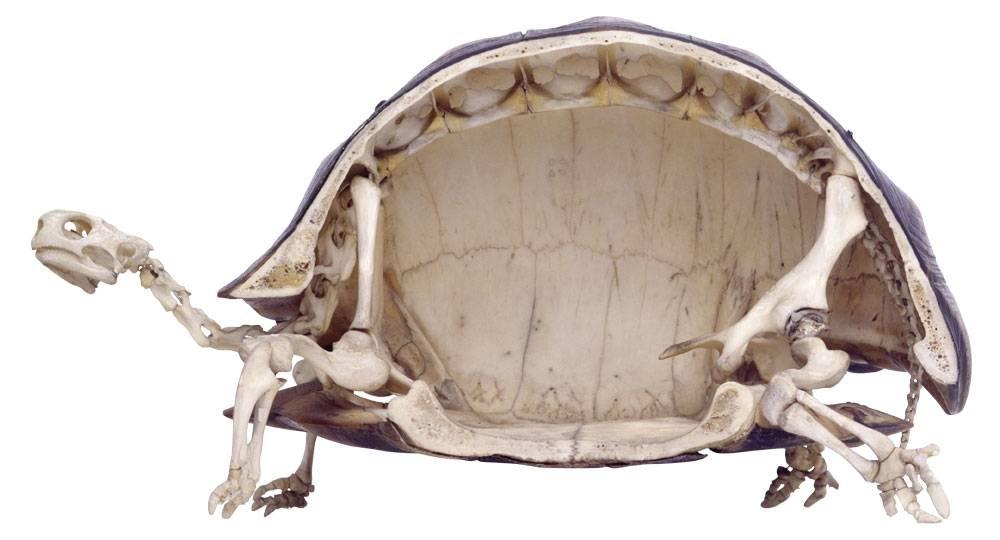 Панцирь черепахи — строение и физиология животного
