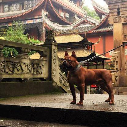 Чунцин — редкая порода родом из Китая