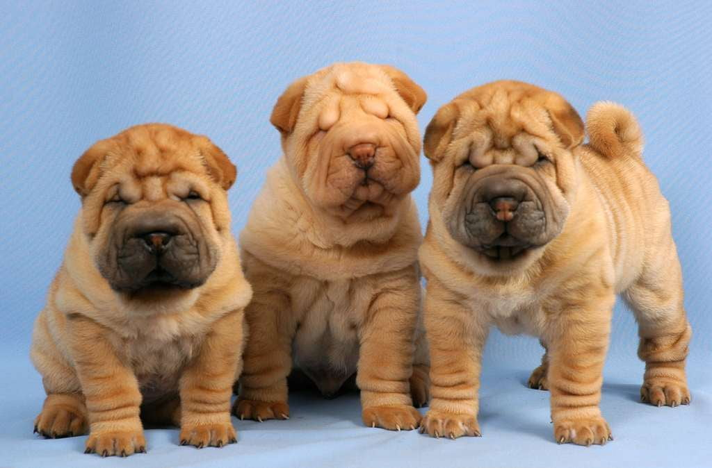 Псы в складочку: какие собаки являются самыми морщинистыми