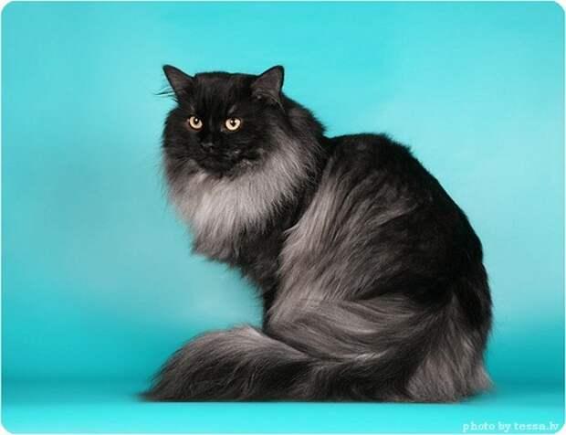 Длинношерстные породы кошек