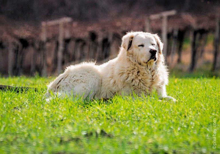 Маремма абруццкая овчарка: описание итальянской породы