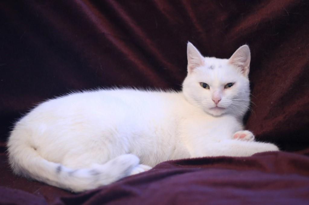 Анатолийская кошка (турецкая короткошерстная)