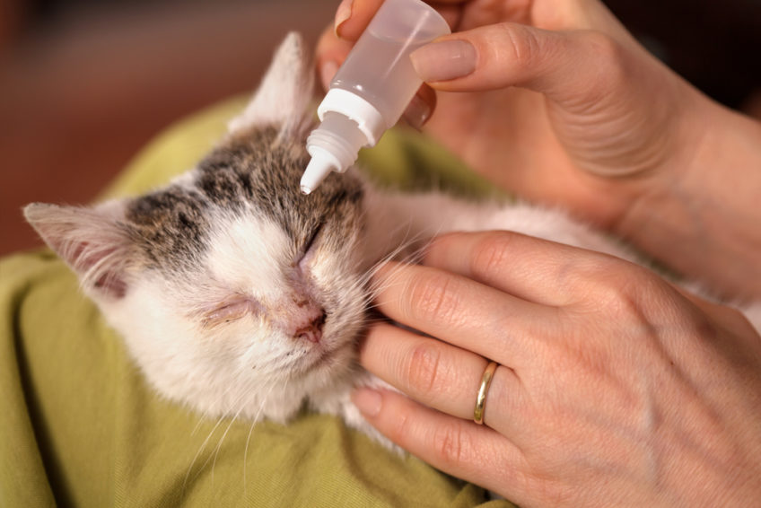 Слезотечение у кошек: возможные причины и терапия