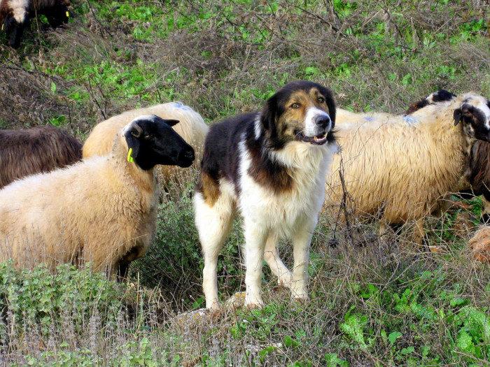 Греческая овчарка