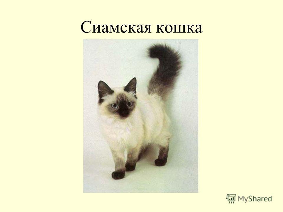 Сиамская кошка: описание породы и характера
