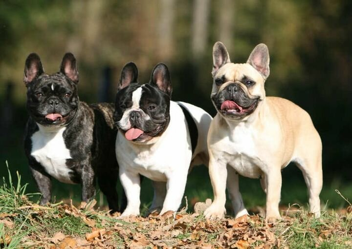 Бульдоги: разновидности породы собак, какие бывают
