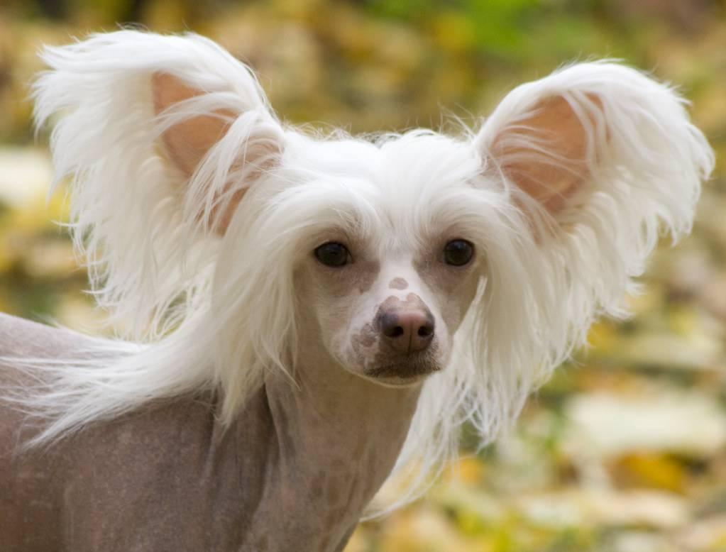 Самая маленькая собака в мире: ТОП пород