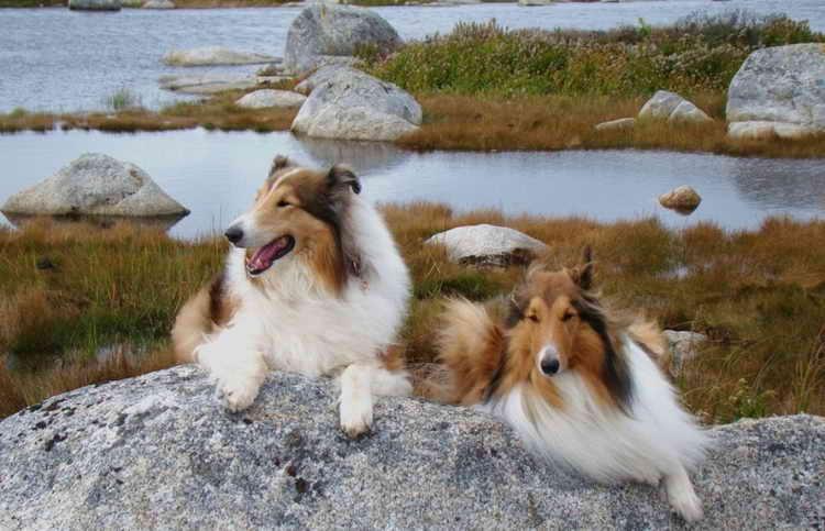 Колли (собака): шотландская овчарка, короткошерстный и длинношерстный