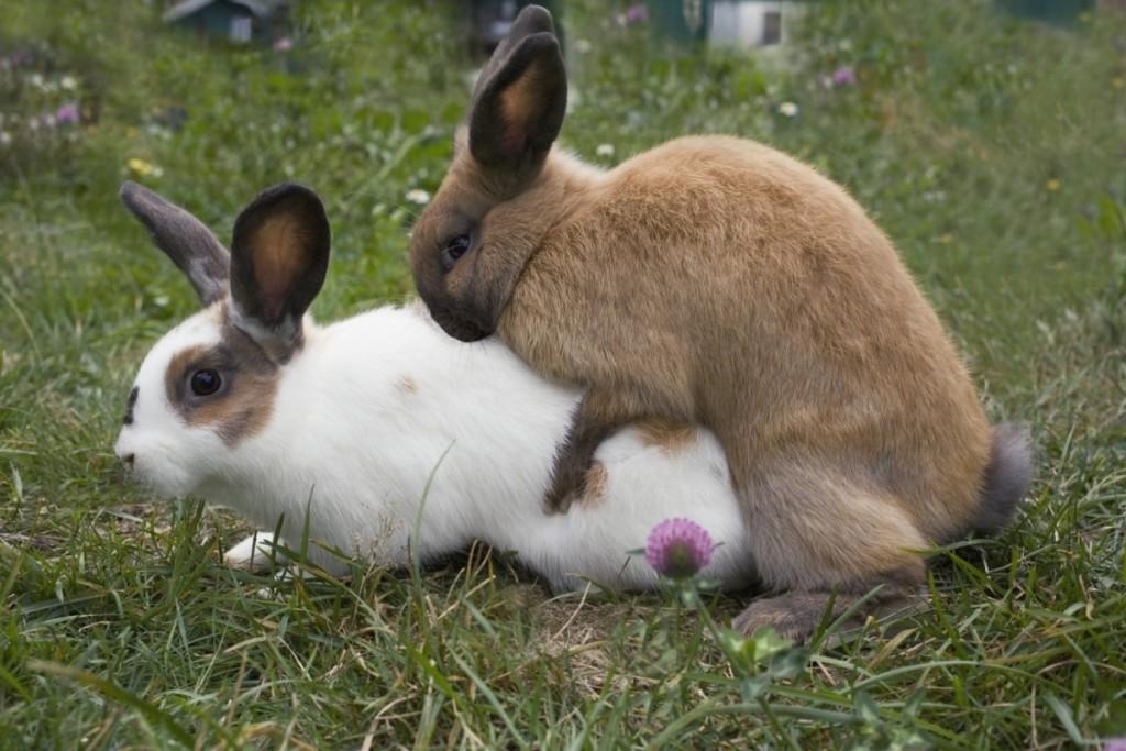 Спаривание кроликов: сроки случки, как размножаются в домашних условиях