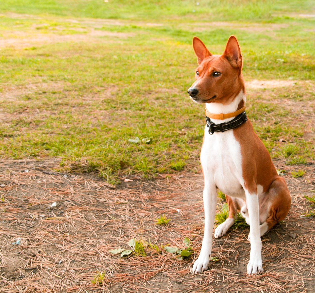 Басенджи — быстрый охотник и любящий друг