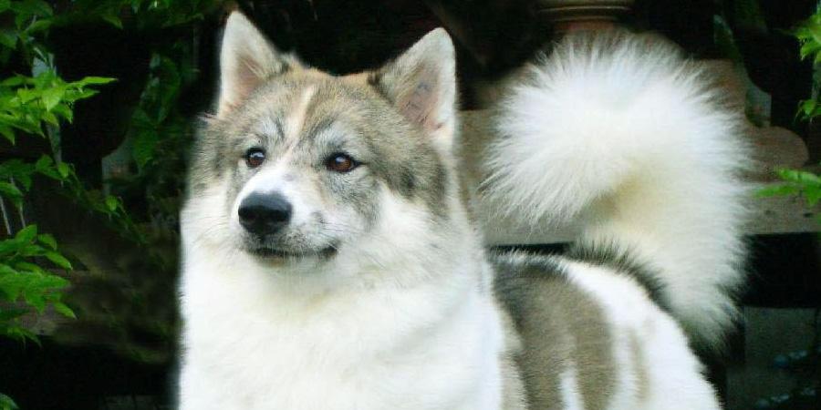 Тайский бангку (тайский бангкэу, тайская собака бангкео)