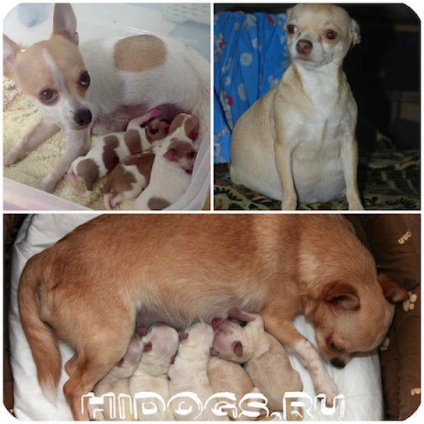 Беременность чихуахуа по дням и роды у собаки
