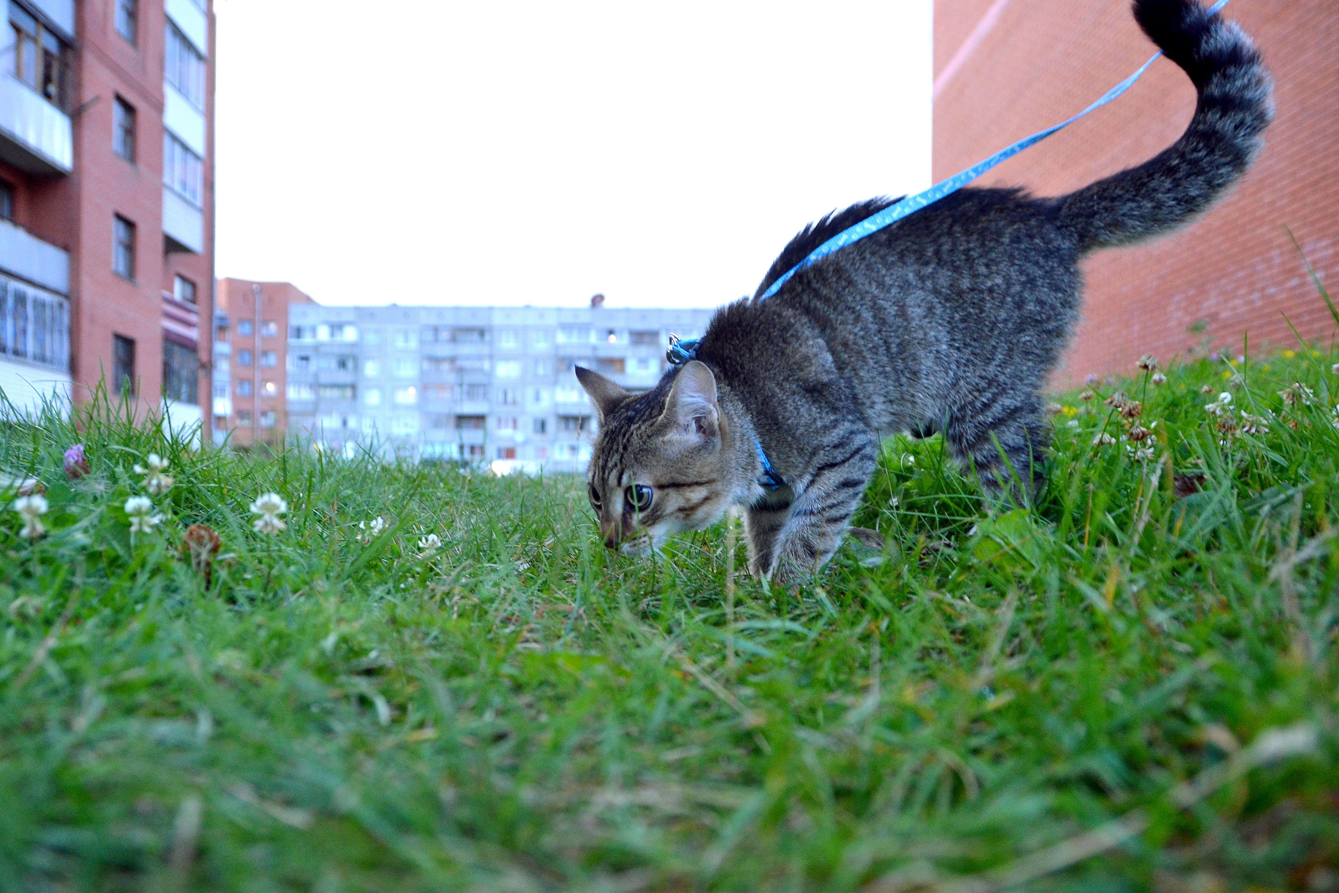Выгуливаем кошку безопасно и правильно