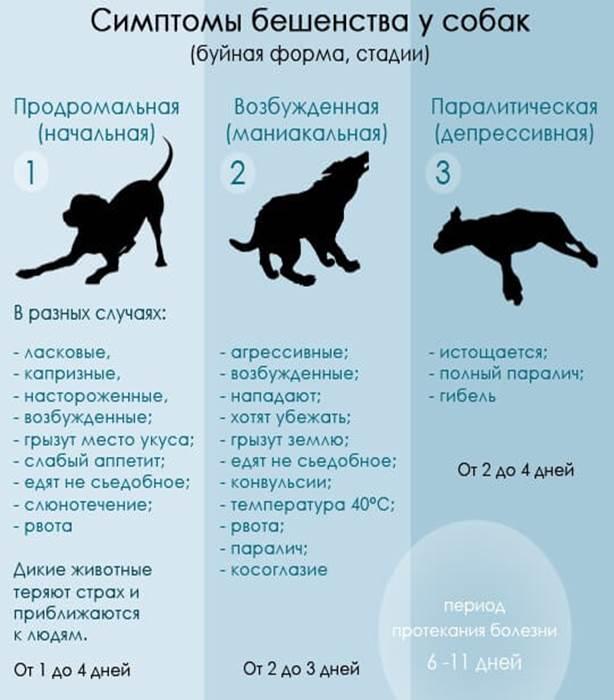 Укусила кошка: примеры как проявляется бешенство у человека и что делать