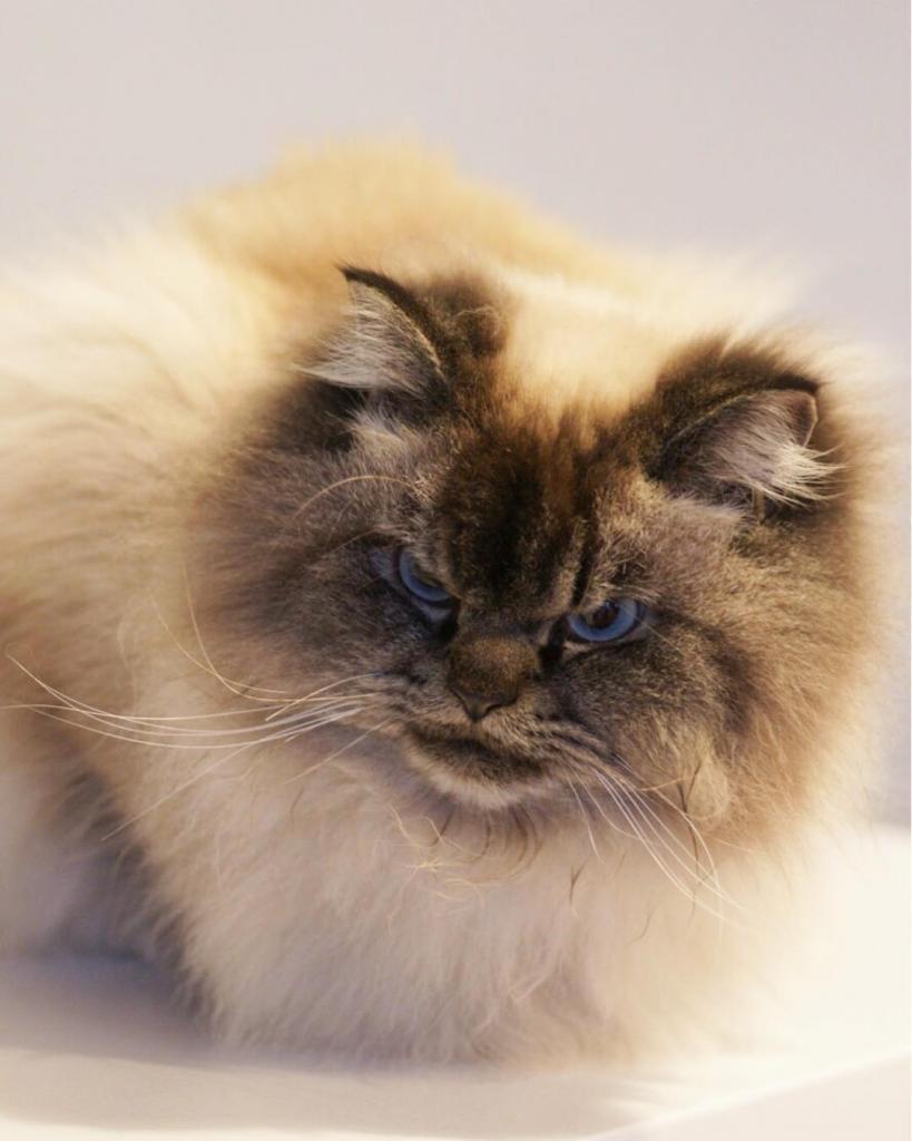 Злой кот: самые злобные пушистые породы кошек
