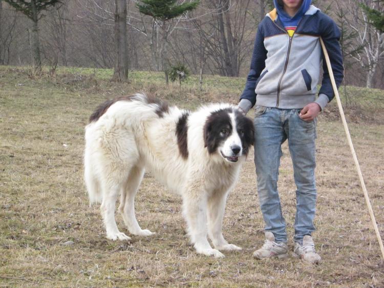 Буковинская овчарка (Юго-восточная европейская овчарка)
