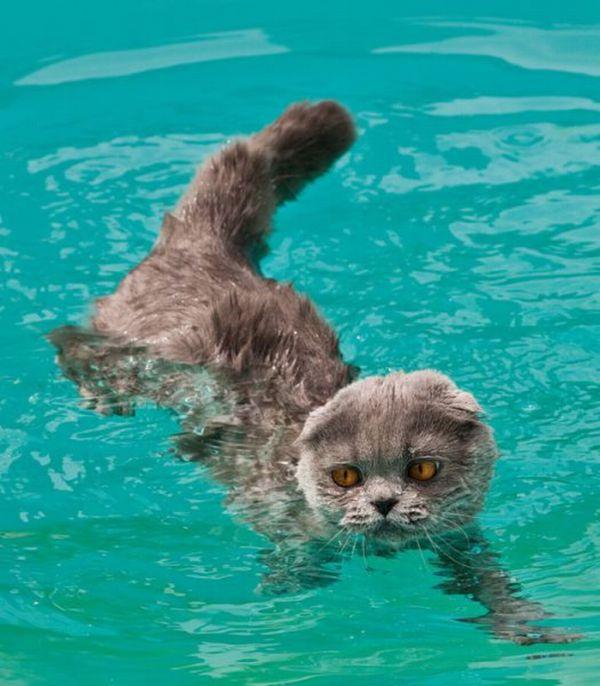 Умеют ли кошки плавать: как приучить к воде кошку