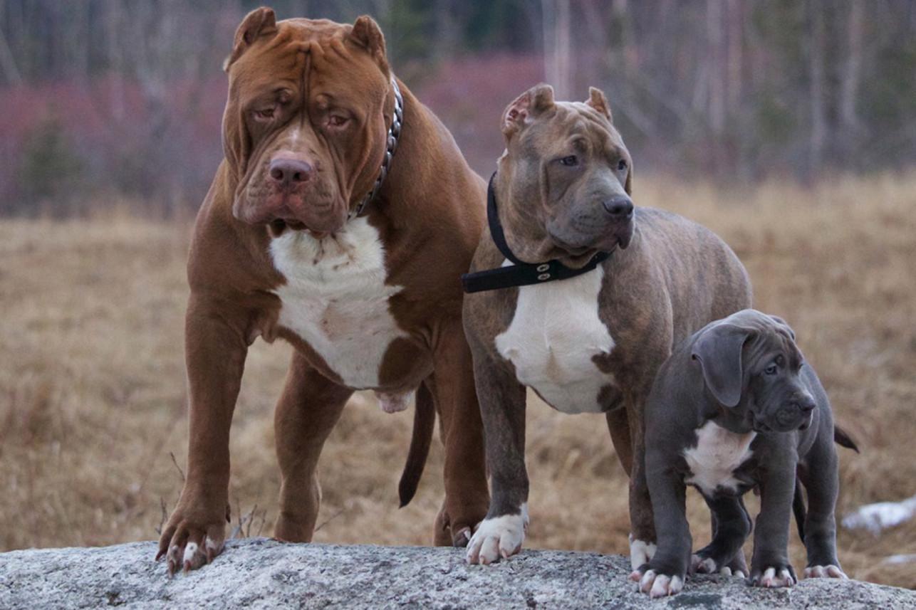 Самая сильная собака в мире по боям: топ 10