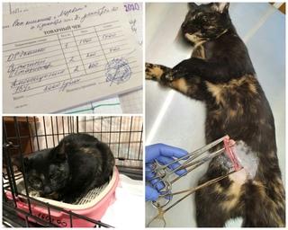 Холангит у кошек: лечение и симптомы