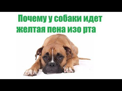 Собаку рвет желтой пеной с жидкостью: почему так происходит