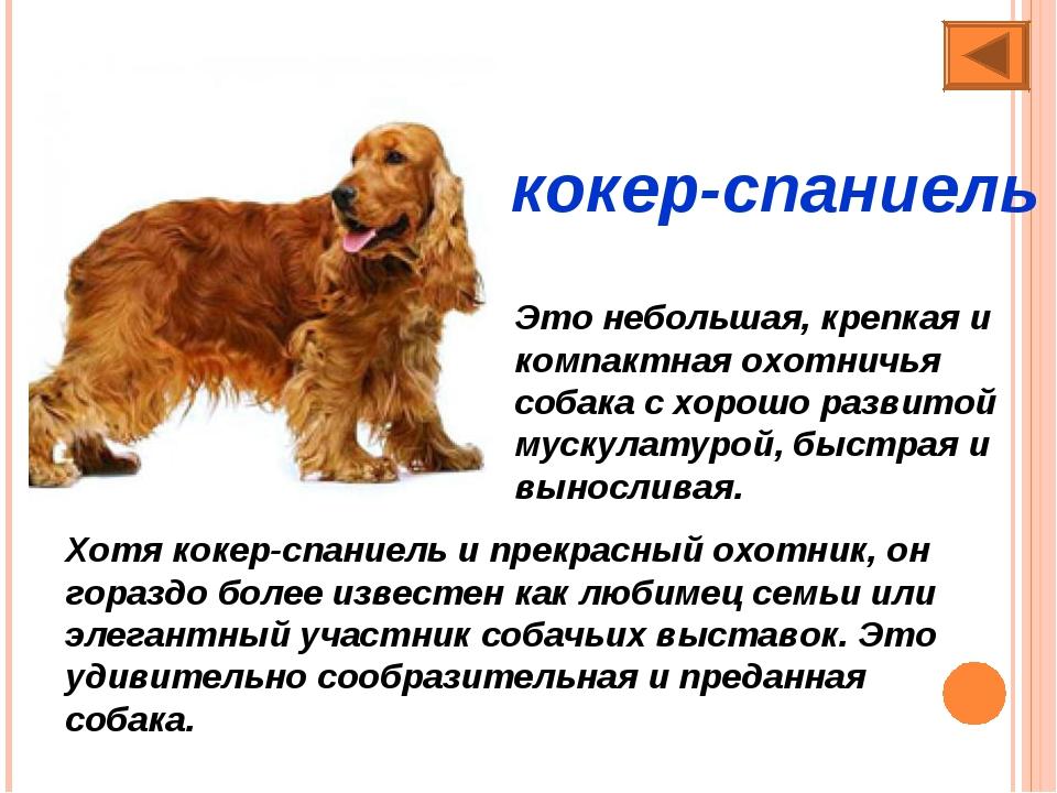 Русский спаниель: характеристика охотничьей породы