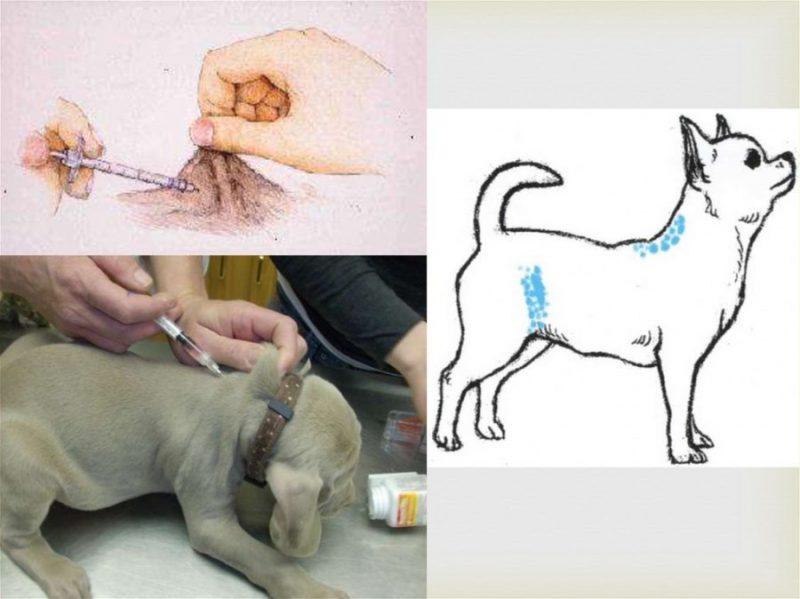 Инъекция кошке в домашних условиях: как делать подкожные, внутримышечные и внутривенные уколы